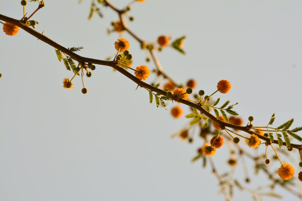 spring tree blooms, allergy triggers